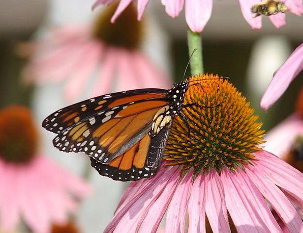 Butterfly Landscapes Ruler Nature Coneflower Monar