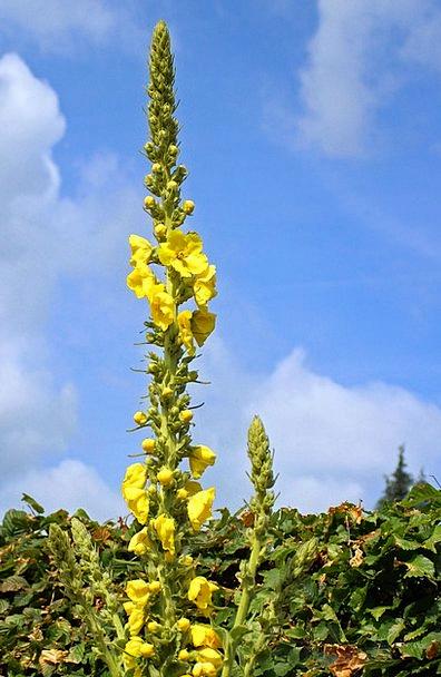 Mullein Landscapes Nature Flower Floret Verbascum