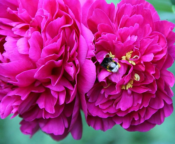 Spring Coil Plants Peony Flowers Hummel