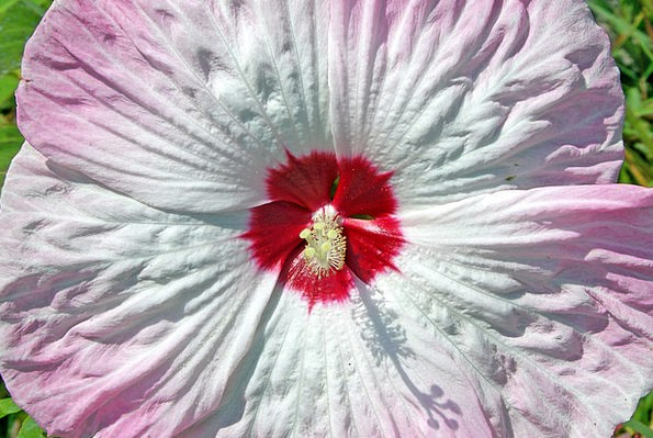 Hibiscus Floret Pink Flushed Flower White Snowy Ma