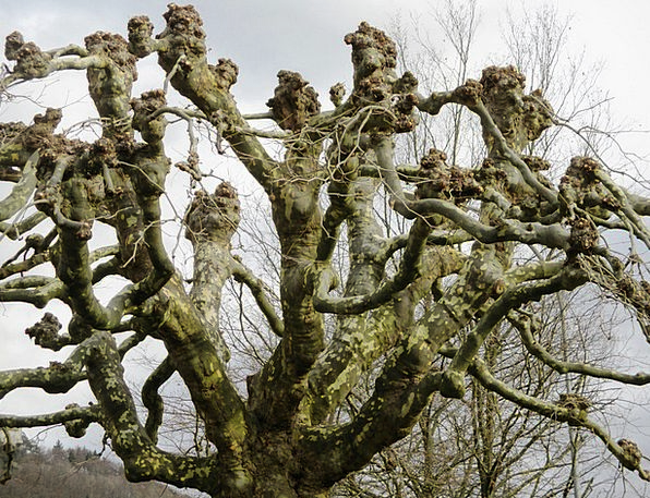 Plane Flat Sapling Branches Twigs Tree Truncate Sh