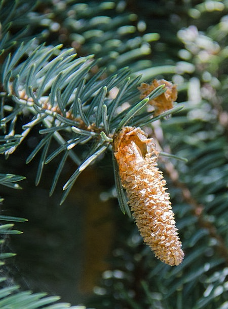 Spruce Neat Sapling Conifer Tree Pine Cone Needles