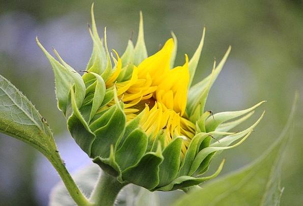 Sunflower Creamy Flower Floret Yellow Peace Petal