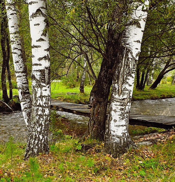 Birch Cane Landscapes Plants Nature River Stream T