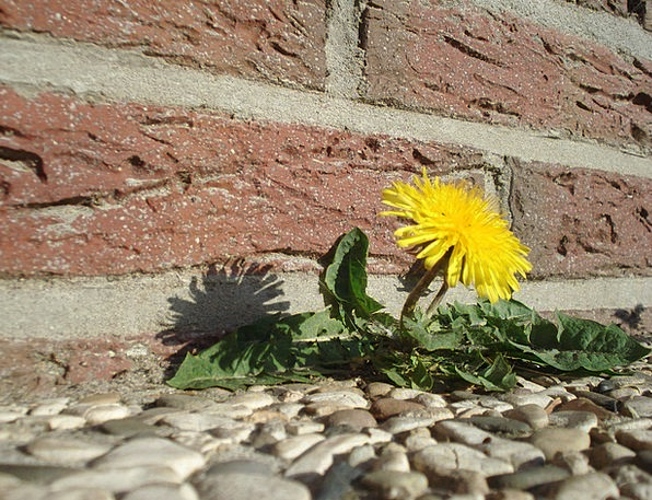 Dandelion Landscapes Floret Nature Roadside Curb F