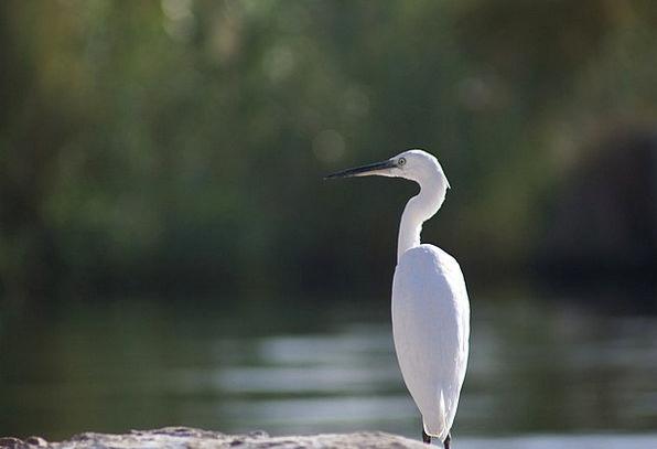 Egret Fowl White Snowy Bird Animal Physical Nile