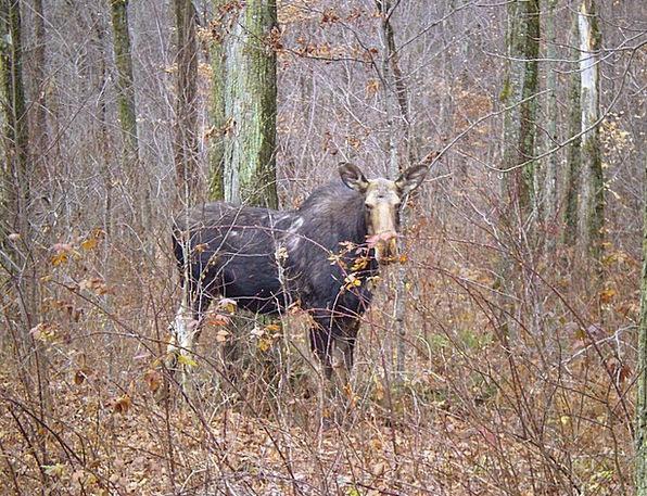 Moose Physical Wild Rough Animal Fall Wildlife Nat