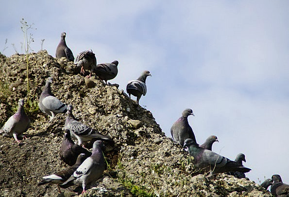Pigeons Marks Conference Many Numerous Meeting Mas