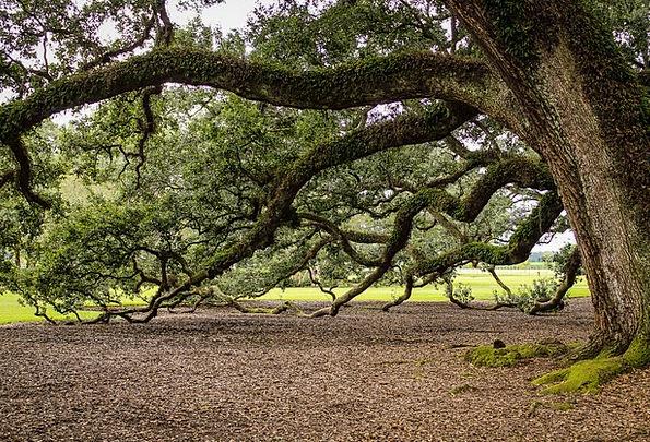 Virginia Live Oak Oak Tree Southern Live Oak Tree
