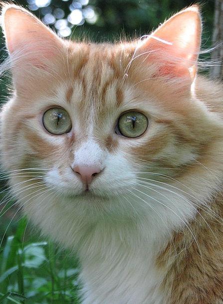 Cat Feline Bloodshot Hangover Aftermath Red Animal