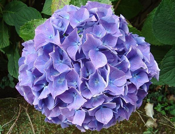 Hydrangea Azure Brittany Blue