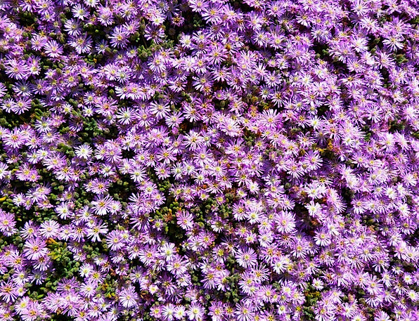 Ice Plant Landscapes Nature Pink Flushed Lampranth