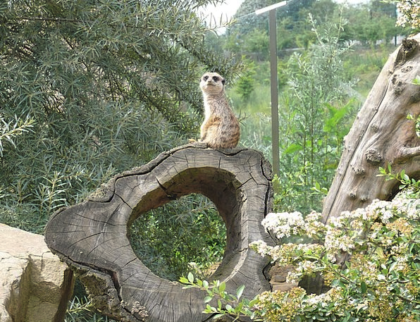 Meerkat Physical Nature Countryside Animal