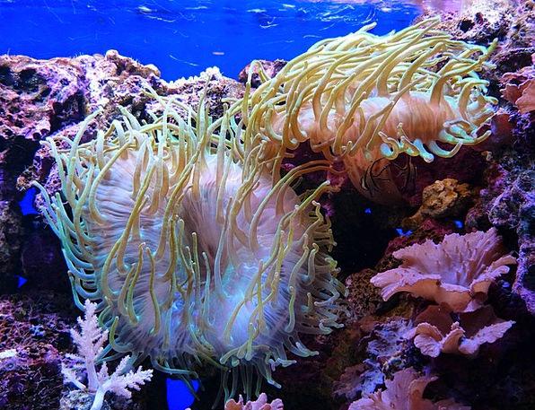 Sea Anemones Actiniaria Aquarium Solitaire Water L