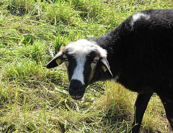 Sheep Ewe Lawn Graze Scratch Grass Animal Physical