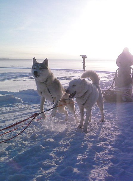 Siberian Dry Dog Husky Sport Sledding Pet Snow Ala