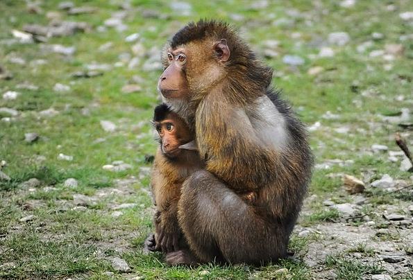 Barbary Ape Chimpanzee Barbary Macaque Ape Protect