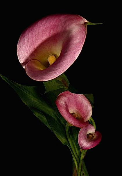 Calla Landscapes Nature Trio Threesome Three Close