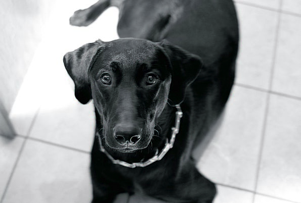 Dog Brat Black Dark Puppy Adorable Lab Workroom Pu