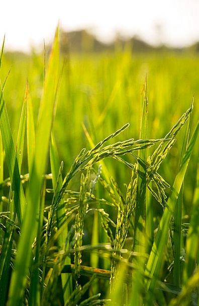 Rice Landscapes Arena Nature Farm Farmhouse Field