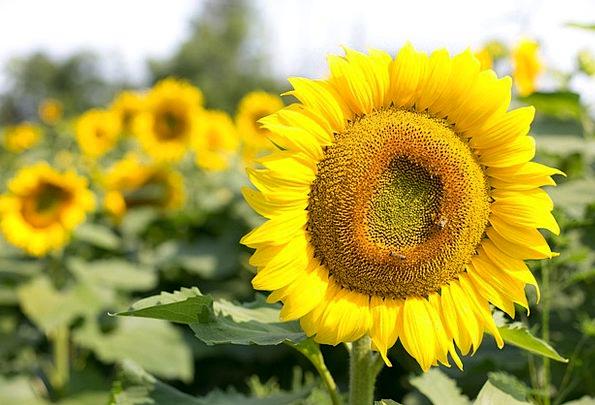 Sunflower Plants Summer Straw-hat Flowers