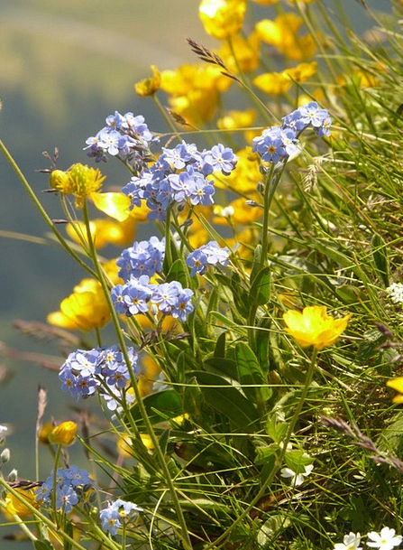 Mountain Flowers Forget Me Not Mountain Flower Gra