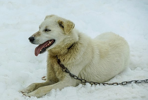 Sled Dogs Dog Sled Alaska Huskey Dog Sled Bobsled