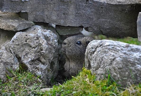Guinea Pig Landscapes Nature Hiding Place Hideaway