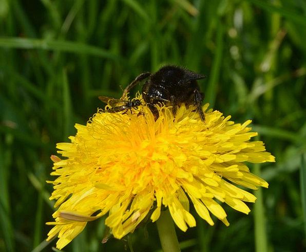Hummel Bug Flower Floret Insect Pollen Nature Clos