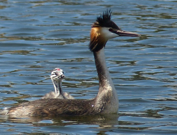 Grebe Duck Young New Waterfowl Mother Ma Child Nat