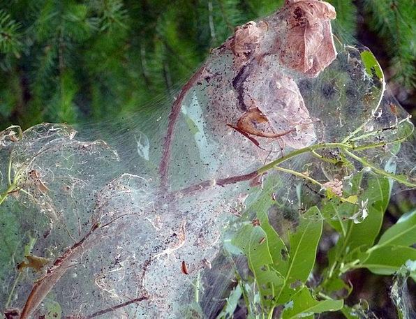 Spiderwebs Enclosed Tree Sapling Covered Cobweb Pl