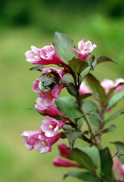 Bumblebee Bug Flower Floret Insect Pink Flushed Gr