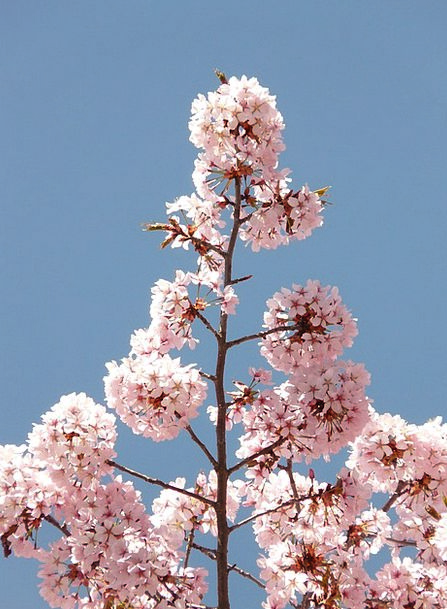 Cherry Blossom Floret Tree Sapling Flower Bloom Ja