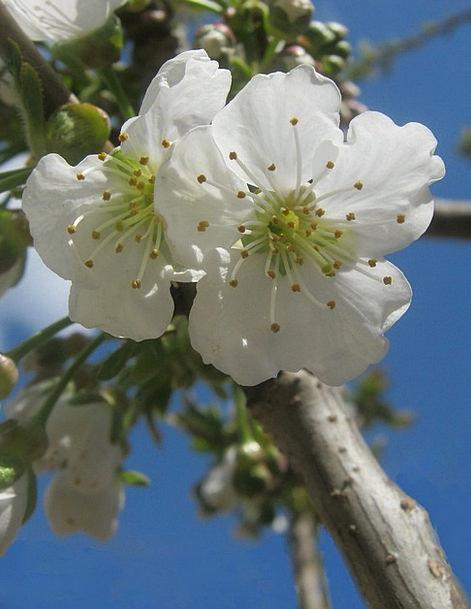 Cherry Blossoms Snowy Spring Coil White Flower Flo