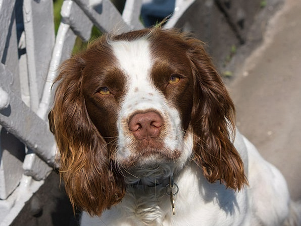 Dog Canine Springer English Springer Spaniel Anima