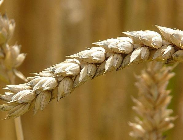 Ear Auricle Landscapes Nature Cereals Mueslis Whea