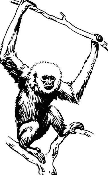 Monkey Ape Chimpanzee Gibbon Primate Archbishop Si