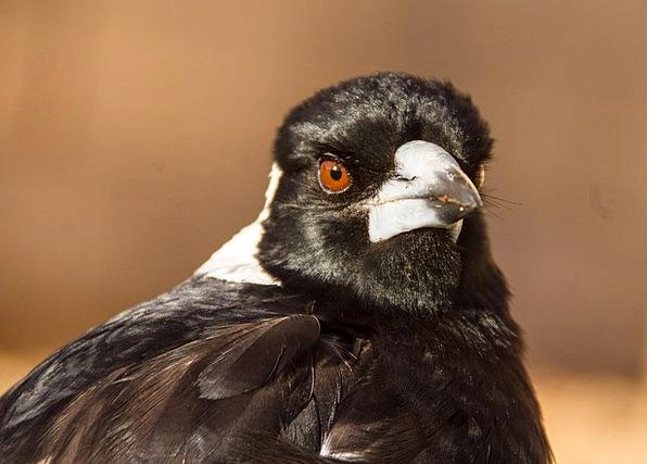 Australian Magpie Chatterer Bird Fowl Magpie Austr