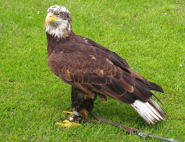 Bald Eagle Form Mlá?? Body Predator Marauder Sitti