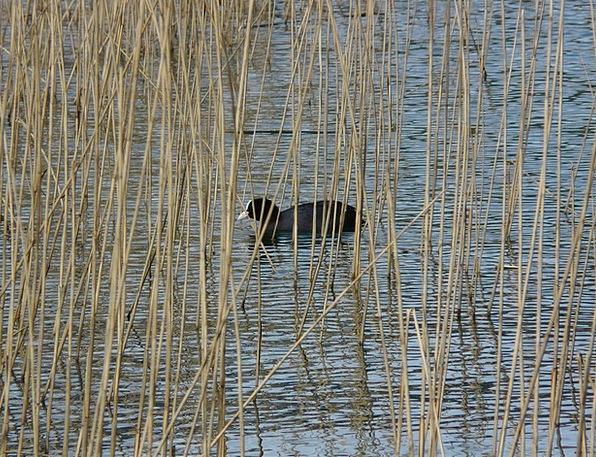 Coot Swamp Marsh Fulica Atra Phragmites Communis W