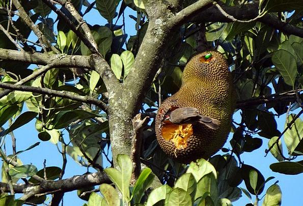 Jackfruit Bird Fowl Overripe Fruit Beetle Feeding