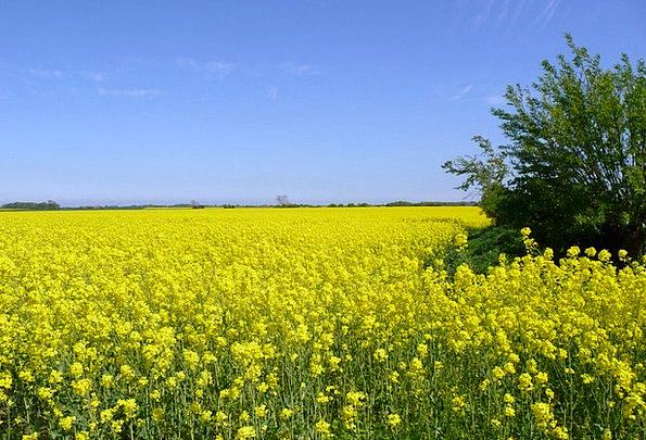 Rape Blossom Yellow Creamy Oilseed Rape Sky Blue S