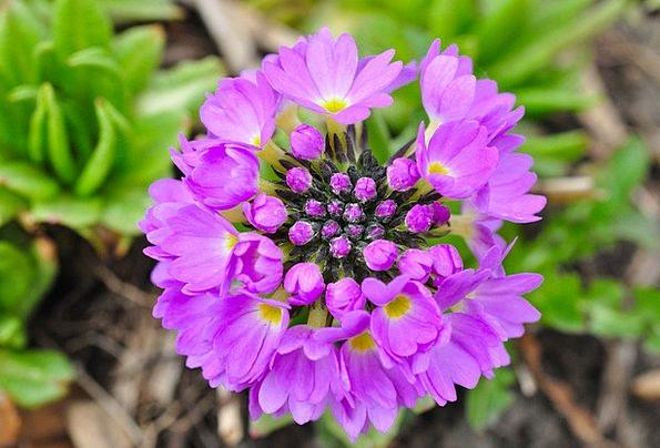 Primrose Landscapes Floret Nature Purple Elaborate