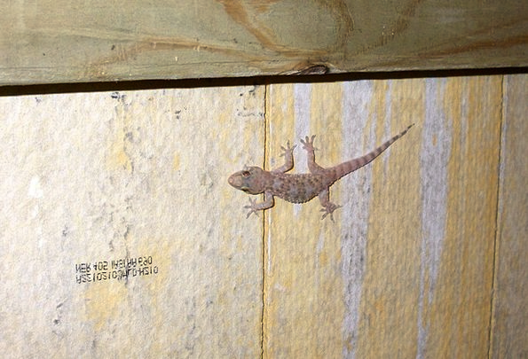 Gecko Reptile Salamander Cold Blooded Climbing Liz