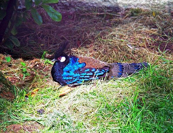 Palawan Peacock-Pheasant Polyplectron Napoleonis P