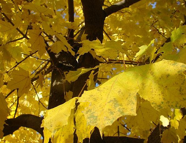 Maple Landscapes Reduction Nature Autumn Fall Seas