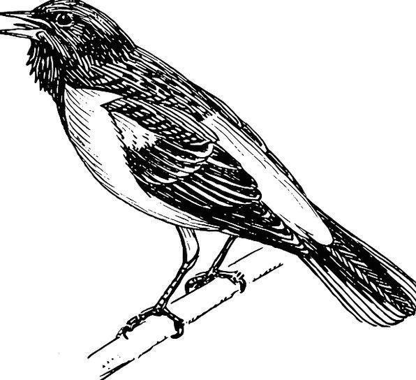 Oriole Bird Fowl Baltimore Ornithology Tree Saplin