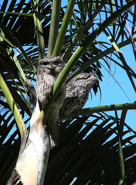 Tawny Frogmouth Birds Natures Frogmouth Birds Trop