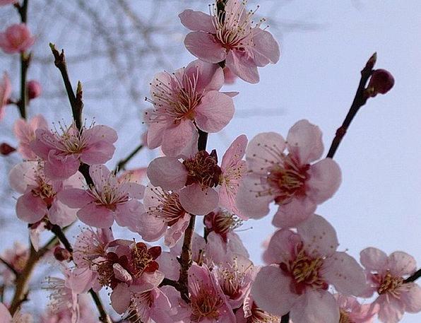 Cherry Blossoms Landscapes Plants Nature Spring Co