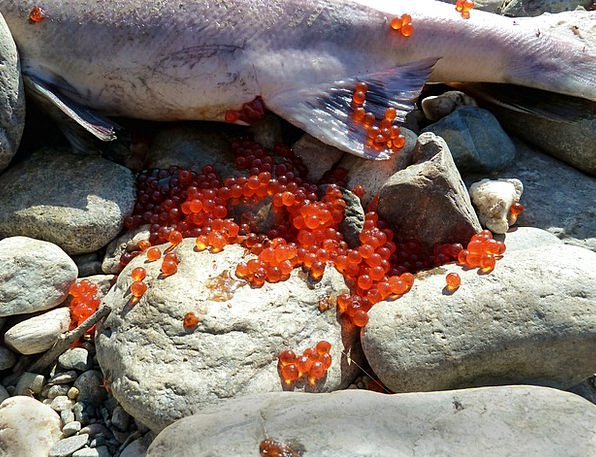Salmon Laying Fish Eggs Spawning Fish Angle Dead S